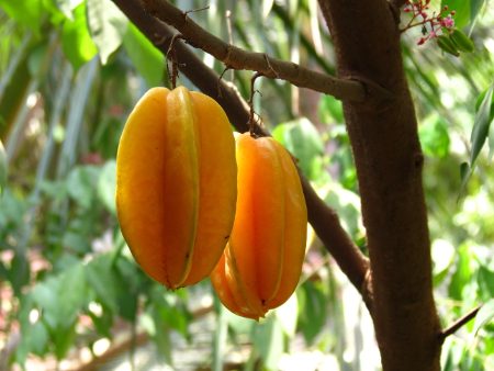 Averrhoa_carambola_Fruit