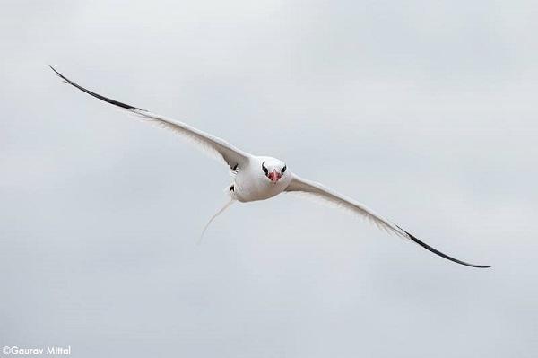 6.Tropicbird, Galapagos