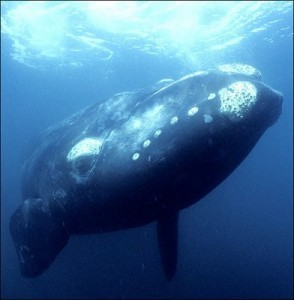 northern pacific right whale