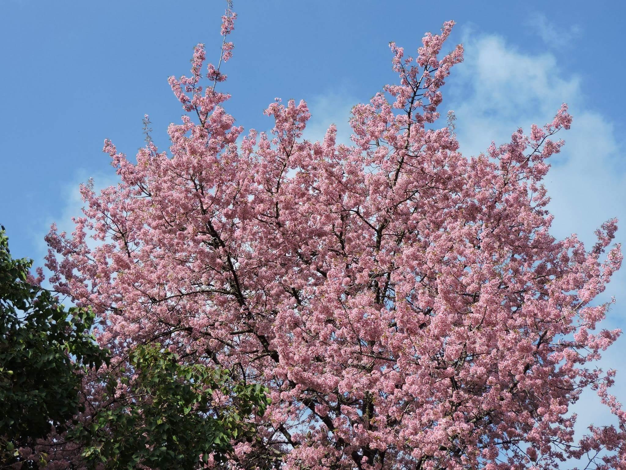 Shillong is hosting world's only Autumn Cherry Blossom Festival