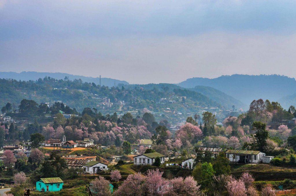 Shillong Cherry Blossom